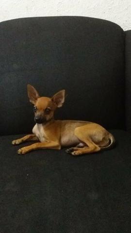 Procuro uma cadelinha Pinscher para cruzar - Foto 2