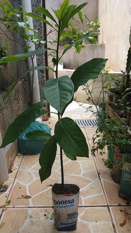 Mudas de abacate - Foto 3