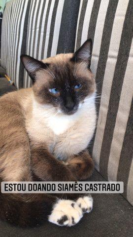 Estou doando Gato siamês castrado