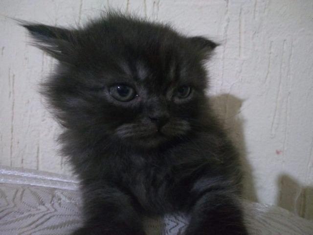 IMPERDÍVEL Filhotes de gato persa - Foto 2