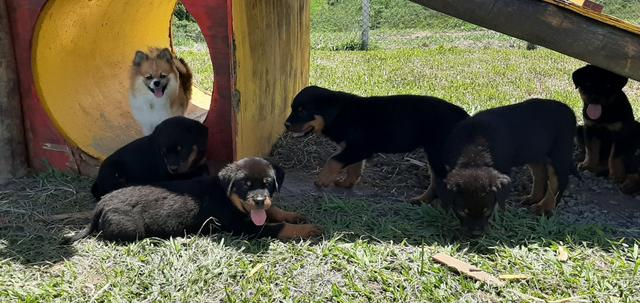 Vendo Rottweiler tel * - Foto 2