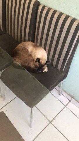 Estou doando Gato siamês castrado - Foto 2