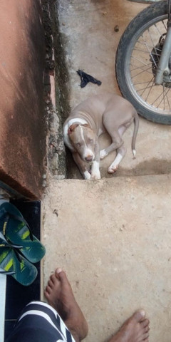 Cachorro pitty Bull - Foto 2