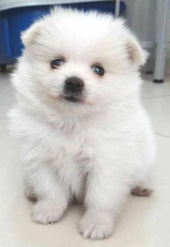 Lulu da Pomerânia branca!!