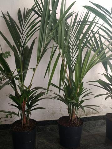 Plantas : Jabuticabeira, Palmeira Laca vermelha, Babosa, Dracena e Palmeira Phafia