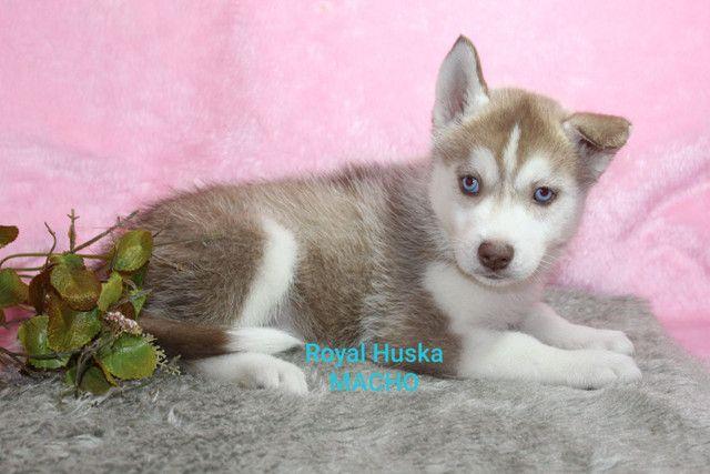 Filhotes de Husky Siberiano - Foto 3
