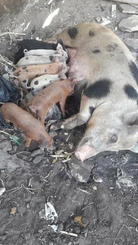 8 porcos com 10 dias de nascido - Foto 2