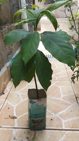 Mudas de abacate - Foto 4