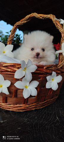 Lindo filhote de Spitz alemão - Foto 6