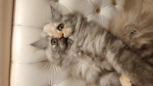 IMPERDÍVEL Filhotes de gato persa