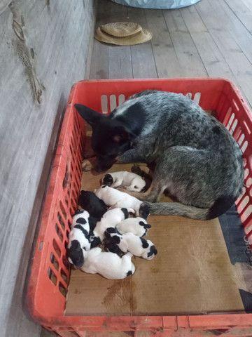 Filhotes de blue heeler (pastor australiano). - Foto 3