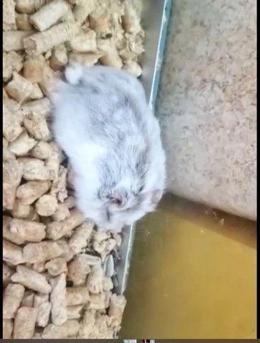 Procuro hamster anão russo ow chinês com cinza ou branco