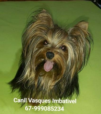 Machinho de yorkshire terrier com pedigree - Foto 3