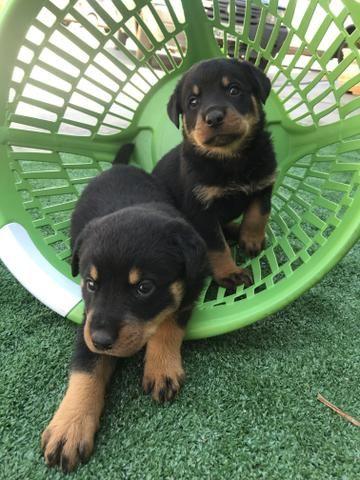 Rottweiler com pedigree e microchip - Foto 3