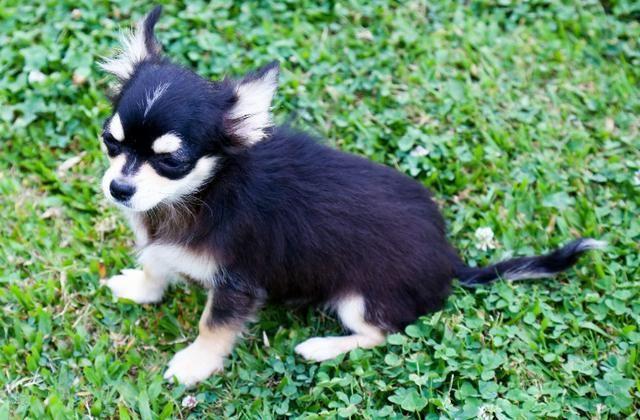 Chihuahua - Macho