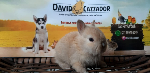 Mini Coelho anao netherlands. Instagram  @davidcazzador - Foto 4