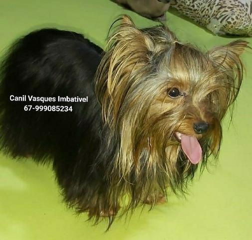 Machinho de yorkshire terrier com pedigree - Foto 2