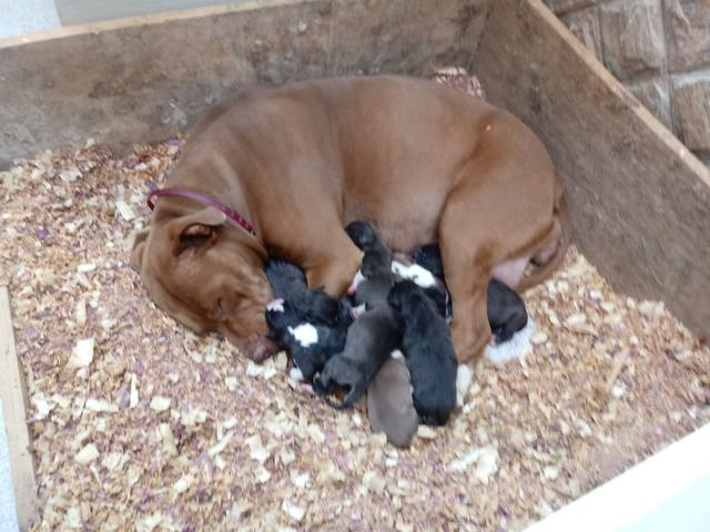 Vendo filhotes de PITBULL - Foto 4