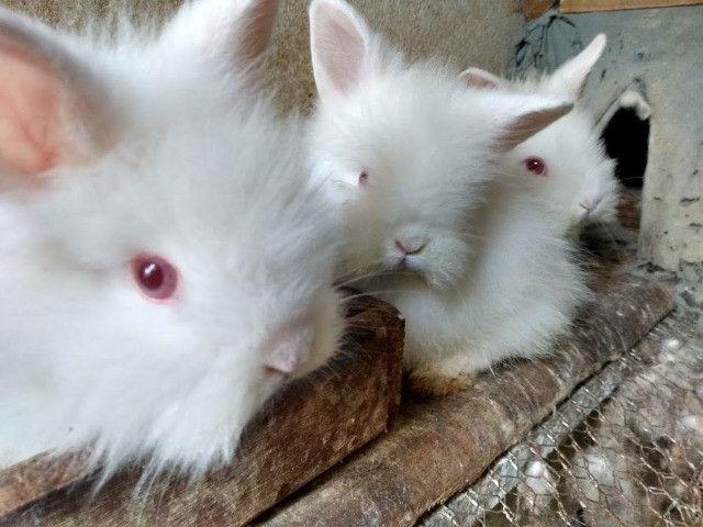 Mini coelhos lion de olhos vermelhos - Foto 2