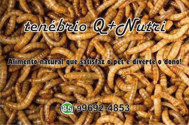 Grilos, Larvas ou Criação de Tenébrio completa - Foto 4