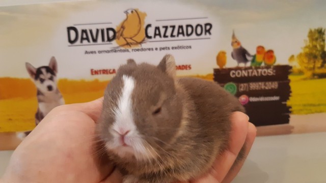 Mini Coelho anao netherlands. Instagram  @davidcazzador - Foto 5