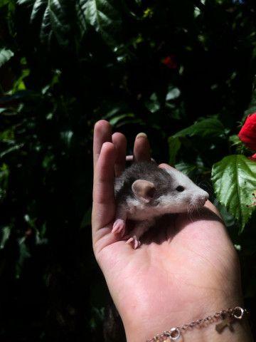 Ratinho de laboratório Twister - Foto 4