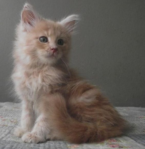 Maine coon - Foto 3