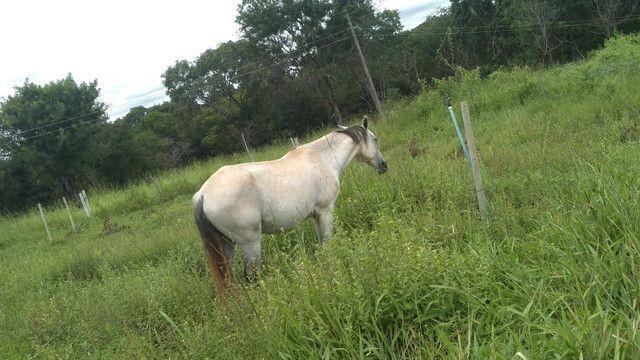 Vendo cavalo manso, Castrado! - Foto 2