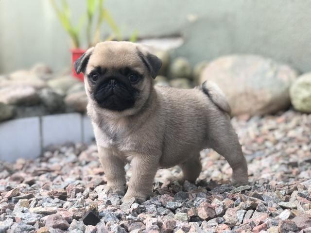 Lindos Filhotes de Pug - Foto 4