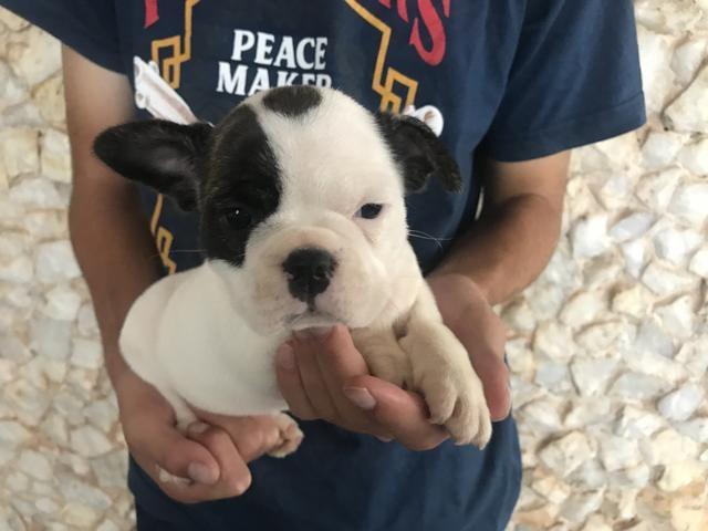 Bulldog Frances com pedigree e microchip - Foto 5