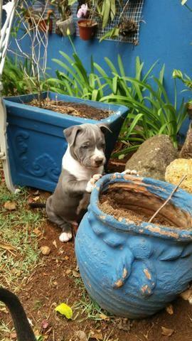 Filhotes de American Staffordshire Terrier - PRONTA ENTREGA - Foto 2