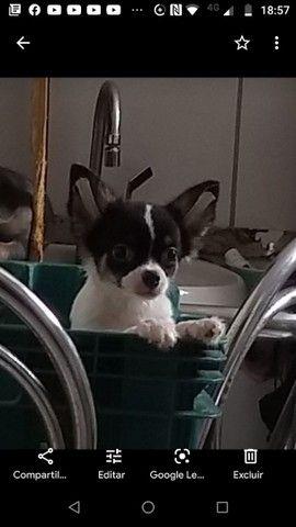 Chihuahua macho CBKC - Foto 2
