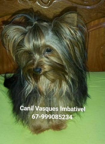 Machinho de yorkshire terrier com pedigree