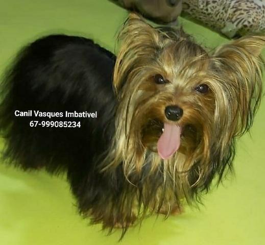 Machinho de yorkshire terrier com pedigree - Foto 4