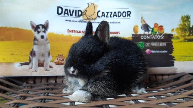 Mini Coelho anao netherlands. Instagram  @davidcazzador - Foto 2