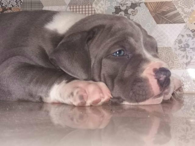 Filhotes de American Staffordshire Terrier - PRONTA ENTREGA - Foto 5