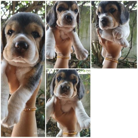 Beagle, linda ninhada