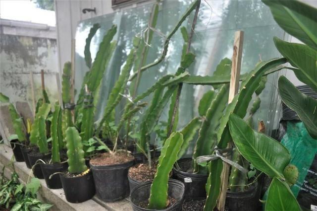 Mudas de pitaya da polpa branca e vermelha - Foto 3