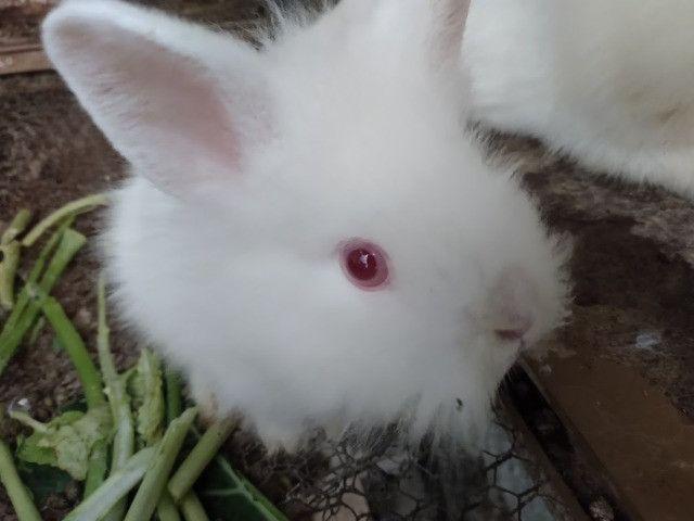 Mini coelhos lion de olhos vermelhos