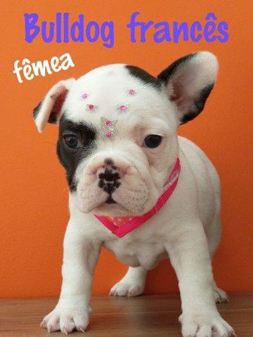 Bulldog Francês fêmea ha pronta entrega ja com microchip