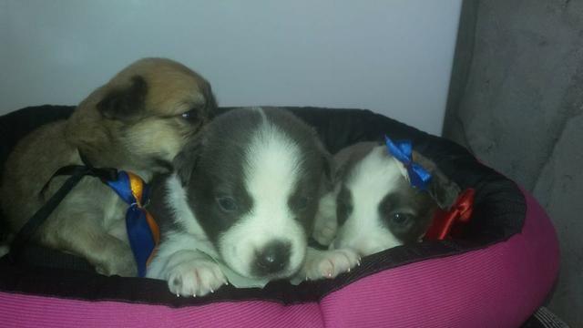Poodle com Maltês Porte pequenos entregamos - Foto 4