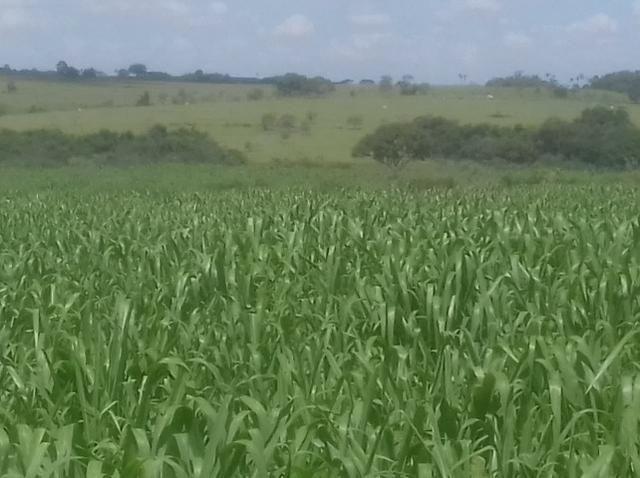 Vendo fazenda 250 alqueires próxima a presidente prudente - Foto 5