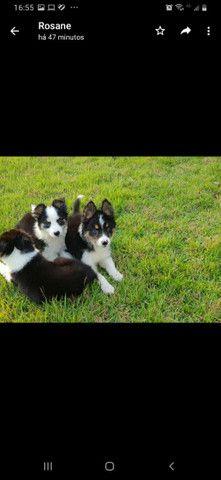 Lindos filhotes Border Collie  - Foto 4