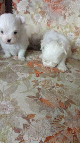 Mini maltês dois perfeitos machinhos branco neve raridade encontrar  - Foto 3