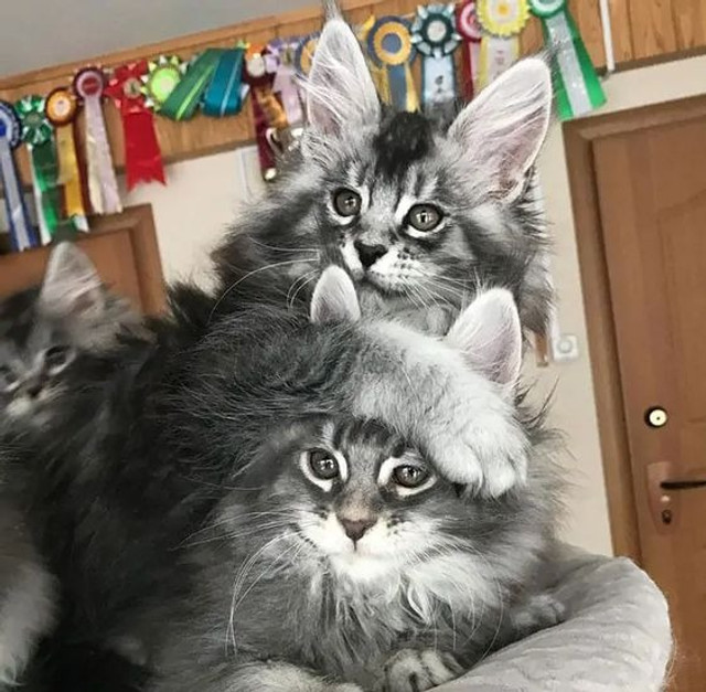 Maine coon - Foto 2