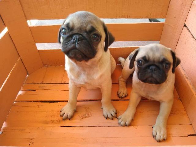 Filhotes de Pug - Foto 6