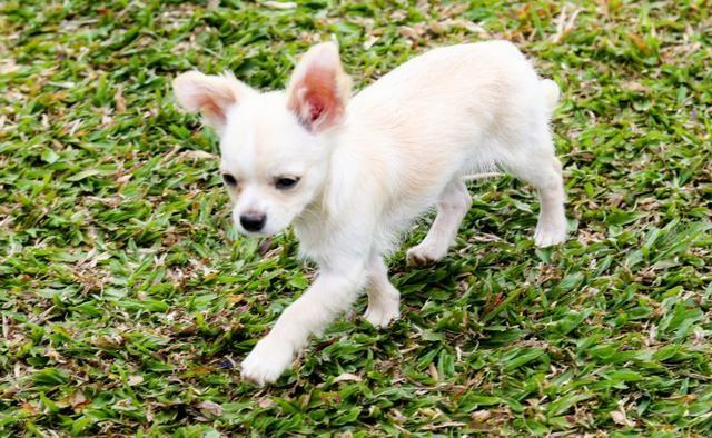 Chihuahua - Macho - Foto 2