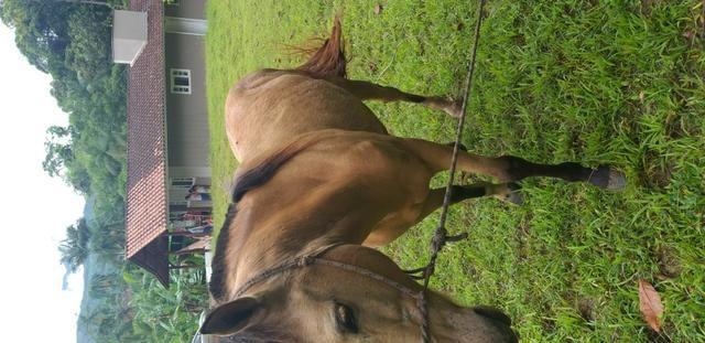 Cavalo crioulo - Foto 4