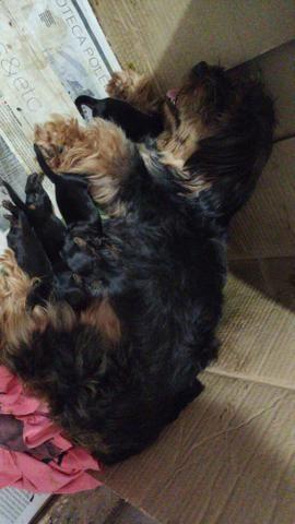 Cachorro Yorkshire filhotes recém nascidos - Foto 3