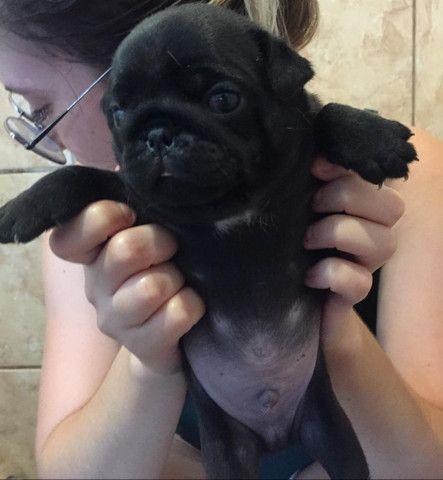 Vende-se cachorros recém nascidos raça pug - Foto 5
